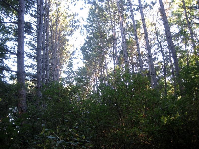 VFW pines